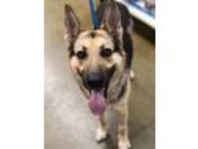 Adopt Copper a German Shepherd Dog, Mixed Breed