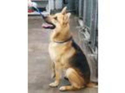 Adopt Bucko a Black - with Tan, Yellow or Fawn German Shepherd Dog / Mixed dog