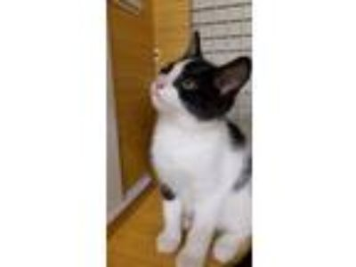 Adopt Shrimp a Domestic Shorthair / Mixed cat in Youngsville, NC (25527537)