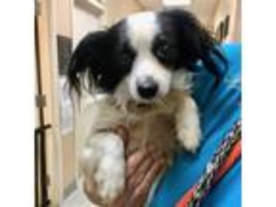 Adopt Bentley a Black - with White Papillon / Mixed dog in Maryville