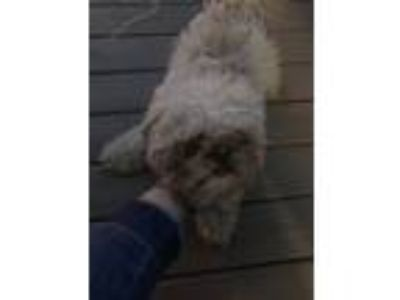 Adopt Snoops a Brindle - with White Shih Tzu / Mixed dog in Milwaukee
