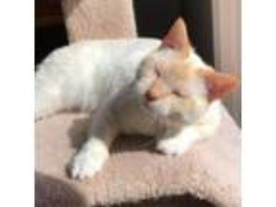 Adopt Empire a Orange or Red Domestic Shorthair cat in Asheville, NC (24737618)
