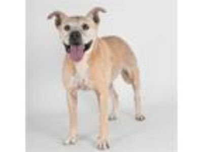 Adopt Clover a American Staffordshire Terrier / Mixed dog in Santa Rosa