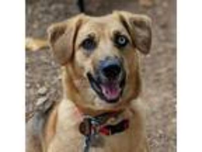 Adopt Dany a Tan/Yellow/Fawn German Shepherd Dog / Mixed dog in New Castle