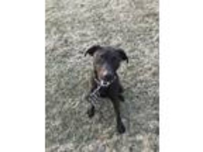 Adopt Earnie a Black Labrador Retriever