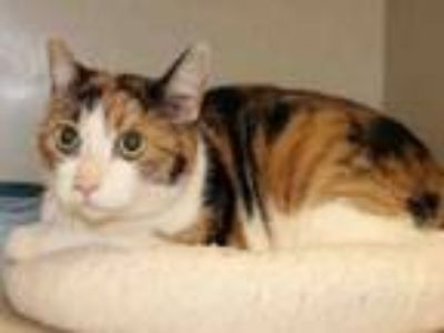 Adopt PAGE a Domestic Short Hair