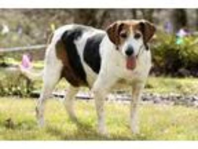 Adopt Mitch a White Treeing Walker Coonhound / Mixed dog in Cashiers
