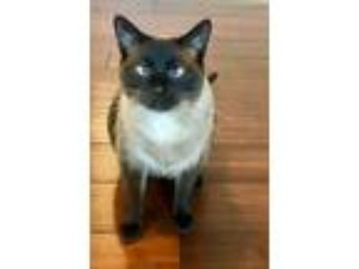 Adopt Thor a Tan or Fawn (Mostly) Siamese / Mixed (short coat) cat in Florence