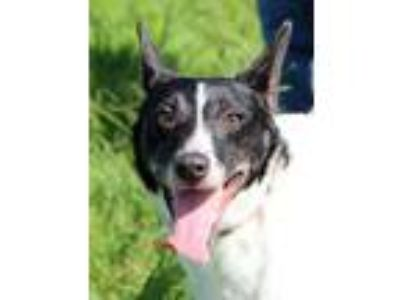 Adopt Jasmine a Jack Russell Terrier, Mixed Breed
