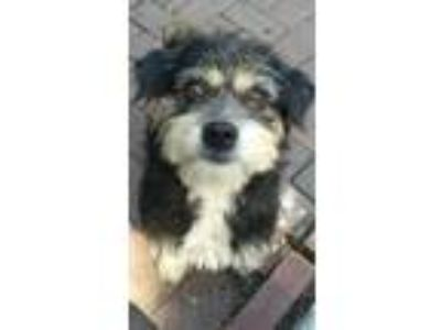 Adopt Clover $300 a Terrier (Unknown Type, Small) / Mixed dog in Milwaukee