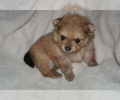 Pomeranian PUPPY FOR SALE ADN-131391 - Pomeranian Puppies for Sale  Available Mid June