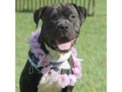 Adopt Ace a Black American Pit Bull Terrier / Boxer / Mixed dog in Washington