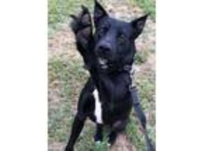 Adopt Maverick a Black - with White Labrador Retriever / Shepherd (Unknown Type)
