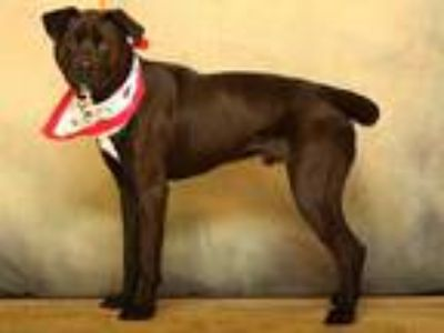 Adopt BOWMAN a Black - with White Labrador Retriever / Boxer / Mixed dog in