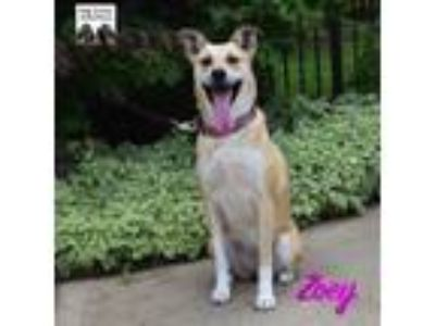 Adopt Zoey a Collie