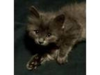 Adopt Meera a Gray or Blue Maine Coon / Mixed (long coat) cat in Knoxville