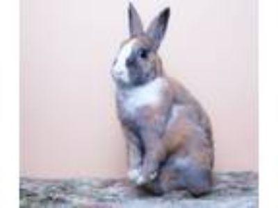 Adopt Cayenne a Tan Dwarf / Mixed (short coat) rabbit in Los Angeles