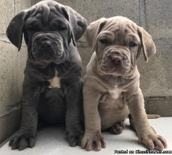 Cut Neapolitan mastiff puppies for sale
