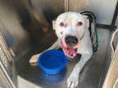 Adopt DEXTER* a White - with Black Great Dane / Mixed dog in Garland
