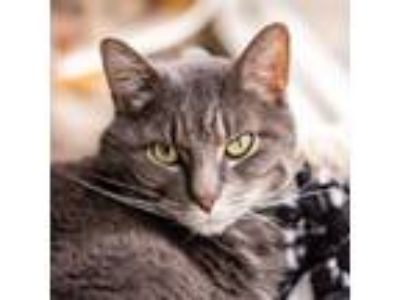 Adopt Nero a Gray or Blue Domestic Shorthair / Domestic Shorthair / Mixed cat in