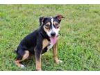 Adopt PUPPY SUNSHINE GIRL a Beagle / Mixed dog in Franklin, TN (25605167)