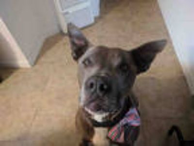 Adopt RANGER a Gray/Silver/Salt & Pepper - with White Great Dane / American Pit