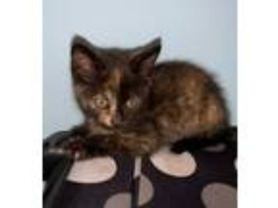 Adopt Katniss a Tortoiseshell Domestic Shorthair (short coat) cat in
