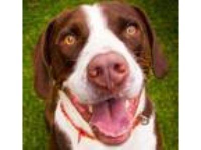 Adopt Charlie Boy a Hound, Labrador Retriever
