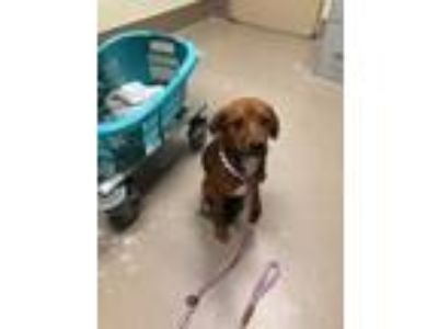 Adopt Rufus a Red/Golden/Orange/Chestnut Labrador Retriever / Mixed dog in