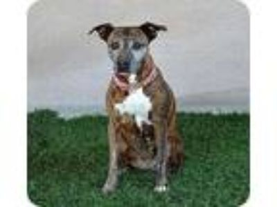Adopt Darla a Brindle Whippet / Cattle Dog / Mixed dog in Sherman Oaks