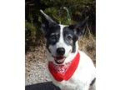 Adopt Roger a Cattle Dog