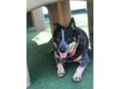 Adopt Josie a Australian Cattle Dog / Blue Heeler