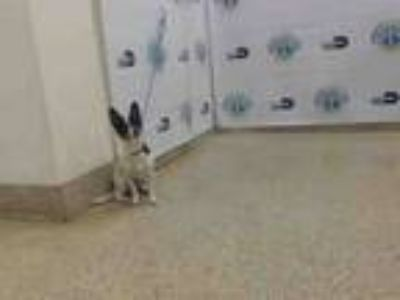 Adopt SWEETLADY a Rat Terrier, Mixed Breed