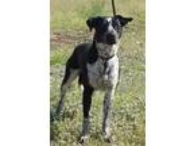 Adopt Ruby a Pointer, Mixed Breed
