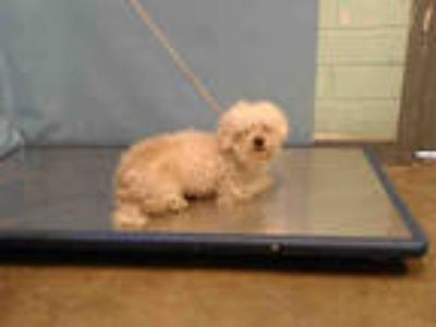 Adopt BUZZ a White - with Tan, Yellow or Fawn Shih Tzu / Poodle (Miniature) /