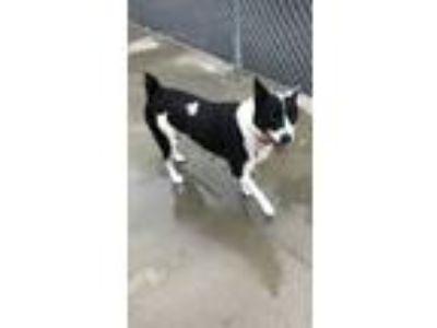 Adopt Kai a Australian Cattle Dog / Blue Heeler