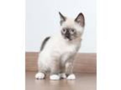 Adopt Waffle C190148 a Siamese, Snowshoe