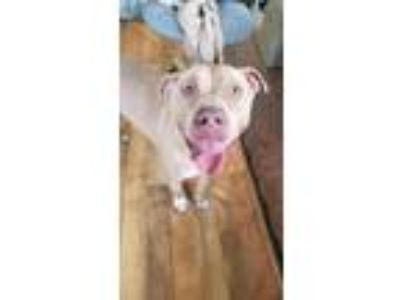 Adopt Scout a Pit Bull Terrier