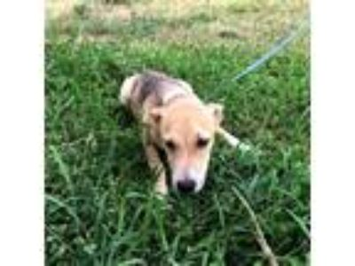 Adopt Waffles a White Shepherd (Unknown Type) / Beagle dog in Moorestown