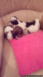 vet check Smartest, two/ Shih Tzu Pups AKC papers, first shot,