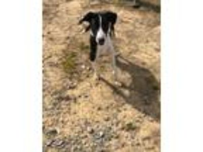 Adopt Bushwacker a Border Collie