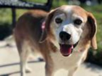 Adopt Sparky a Tricolor (Tan/Brown & Black & White) Beagle / Mixed dog in