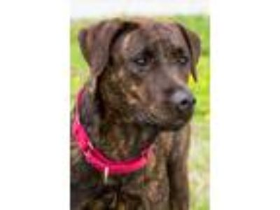 Adopt Shelly a Brown/Chocolate - with Black Labrador Retriever / Mixed dog in