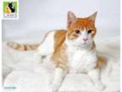 Adopt Max Butters a Orange or Red (Mostly) Domestic Shorthair / Mixed cat in