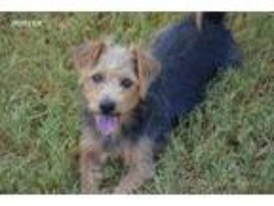 Adopt Porter a Tan/Yellow/Fawn - with Black Norfolk Terrier / Mixed dog in