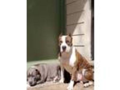 Adopt Bronco a Brindle American Pit Bull Terrier / American Pit Bull Terrier dog