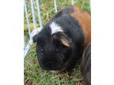 Adopt Delihla a White Guinea Pig / Mixed small animal in Honolulu, HI (25576769)