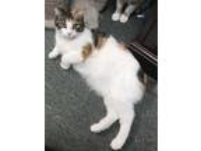 """Adopt Millie """"Lil Feral"""" a White (Mostly) Domestic Shorthair / Mixed cat in"""
