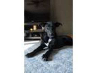 Adopt Lilly a Black Shepherd (Unknown Type) / Labrador Retriever / Mixed dog in