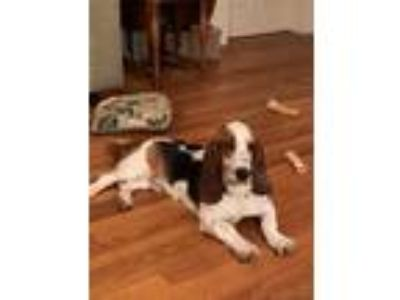 Adopt Bo a Tricolor (Tan/Brown & Black & White) Basset Hound / Mixed Breed